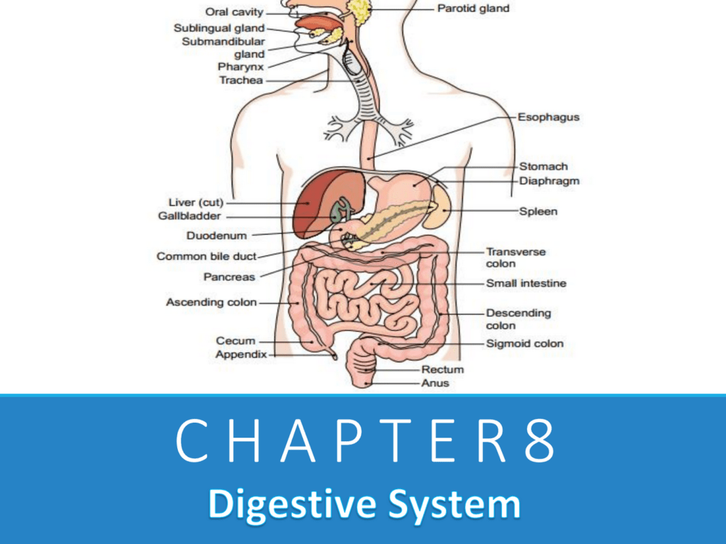 Chapter 8: Digestive System