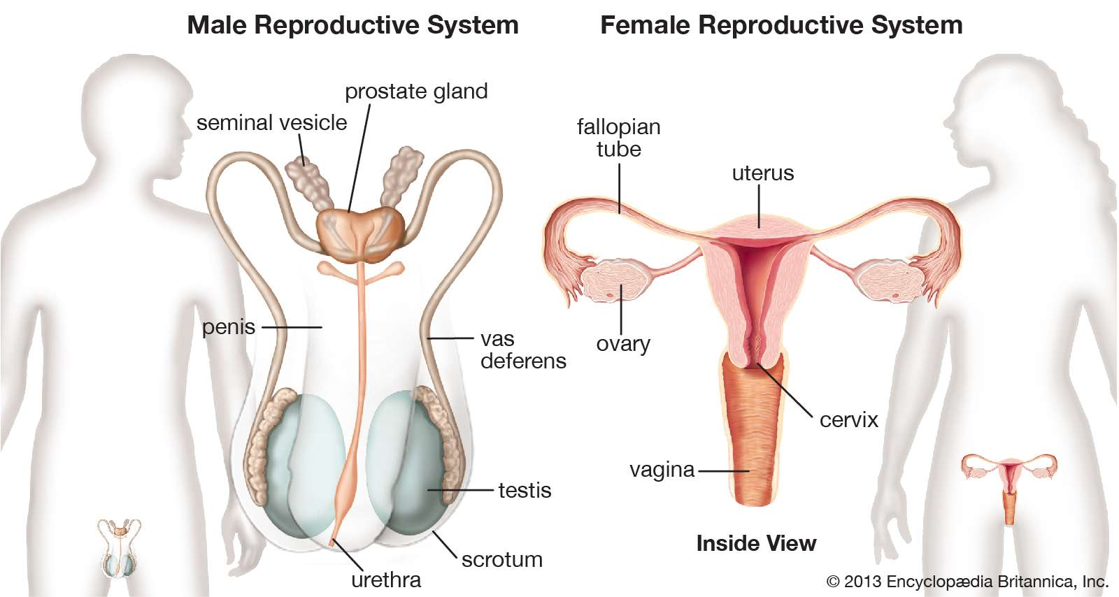 Chapter 9 & 10: Female and Male Reproductive System